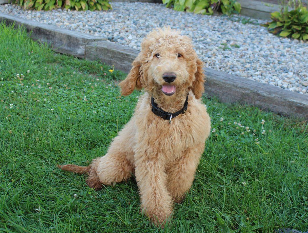 Ian - puppy F1B Goldendoodle male for sale near Hicksville, Ohio