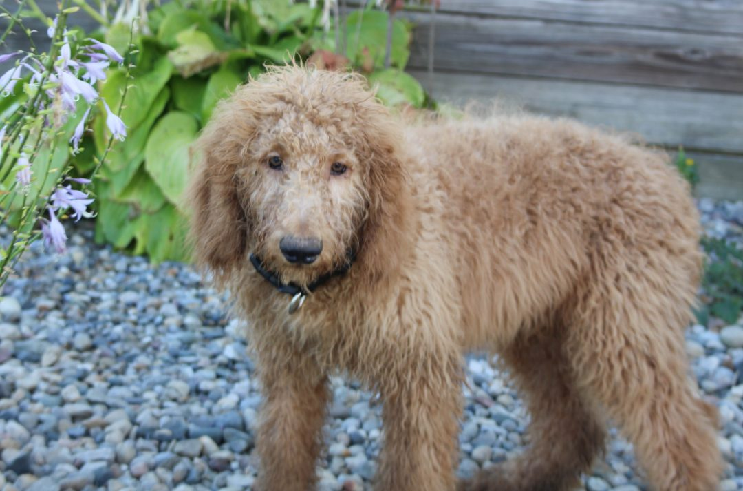 Sammy - F1B Goldendoodle male puppie for sale in Hicksville, Ohio