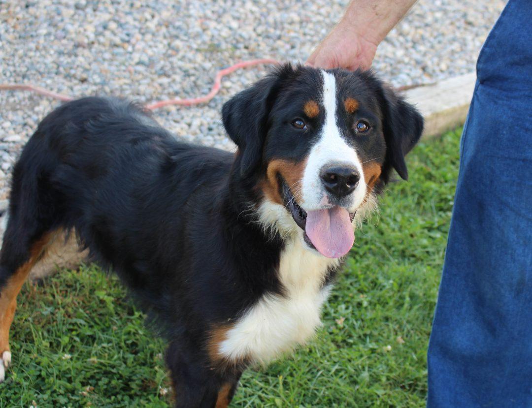 Duke - male AKC Bernese Mountain pup for sale near Hicksville, Ohio