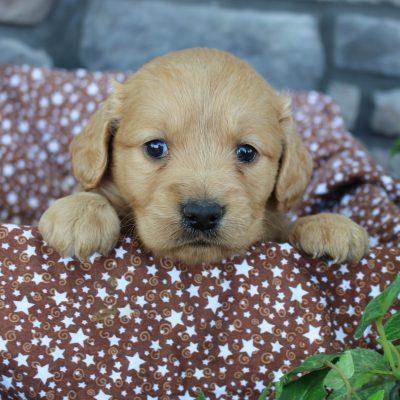 Kenzi * mini * - Goldendoodle female doggie for sale near Grabill, Indiana