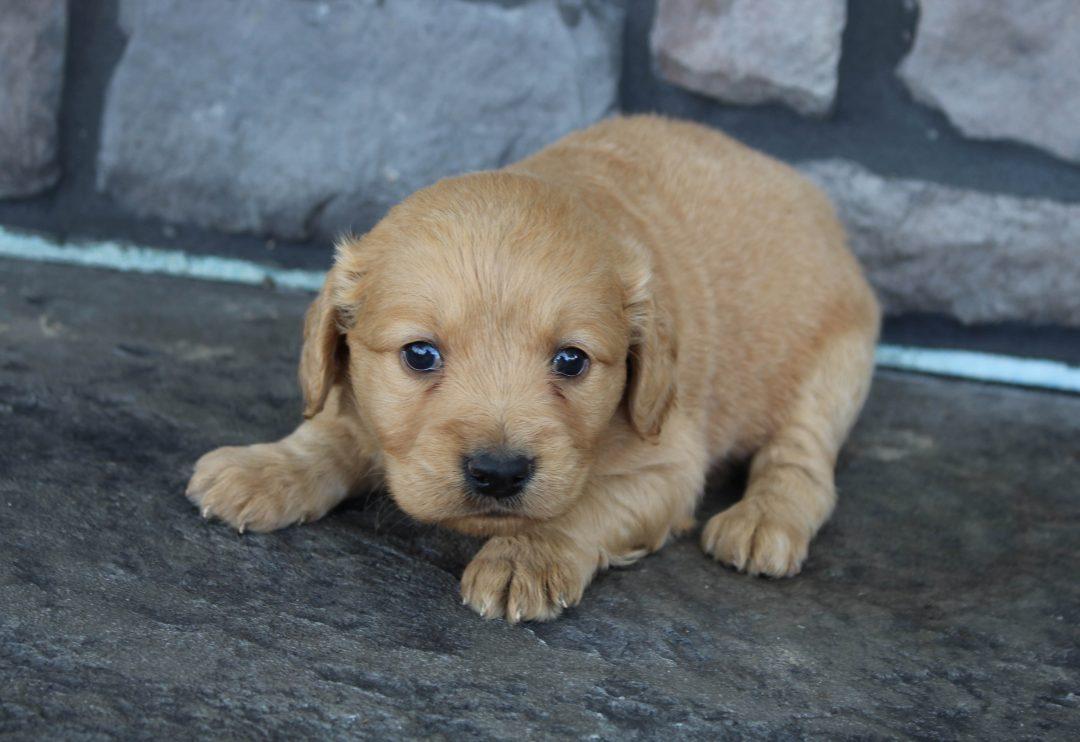 Kenzi * mini * - Golden Retriever female doggie for sale near Grabill, Indiana