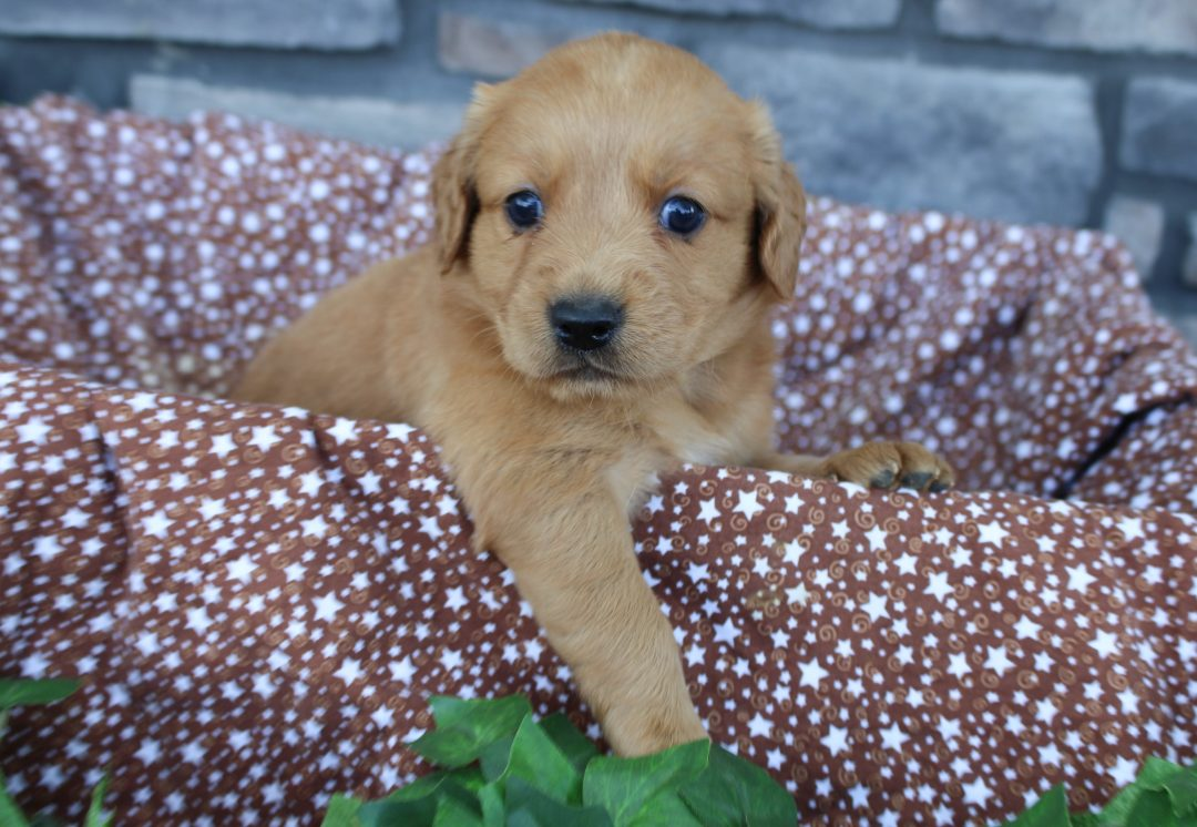 Riley * mini * - Goldendoodle female puppy for sale in Grabill, Indiana