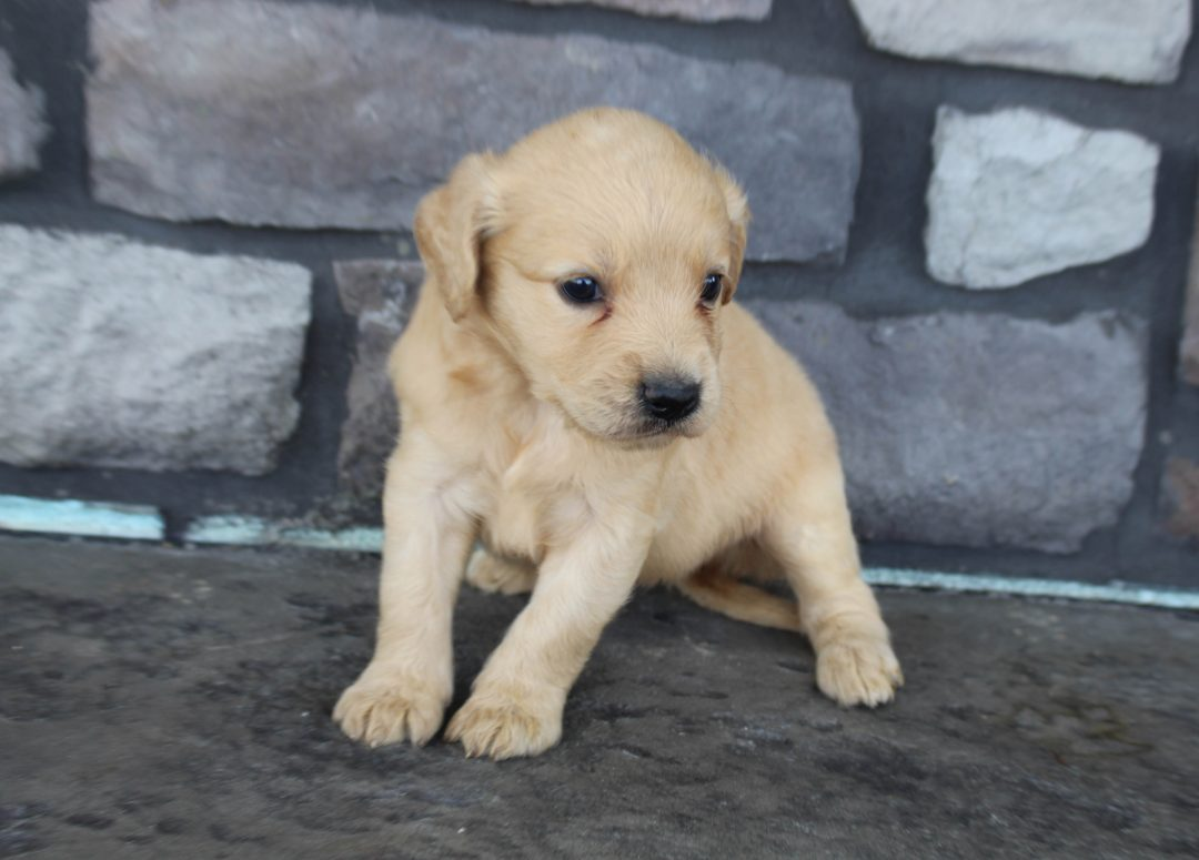 Morgan * mini * - Goldendoodle female pup for sale at Grabill, Indiana