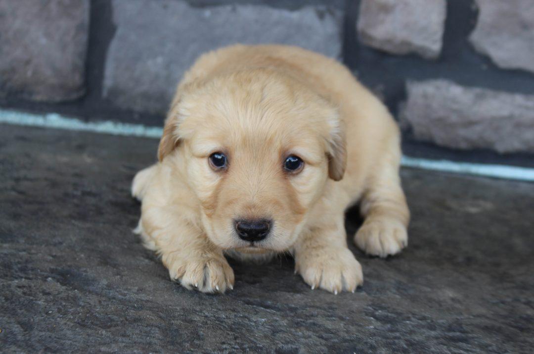 Jayla * mini * - Goldendoodle female pupper for sale near Grabill, Indiana