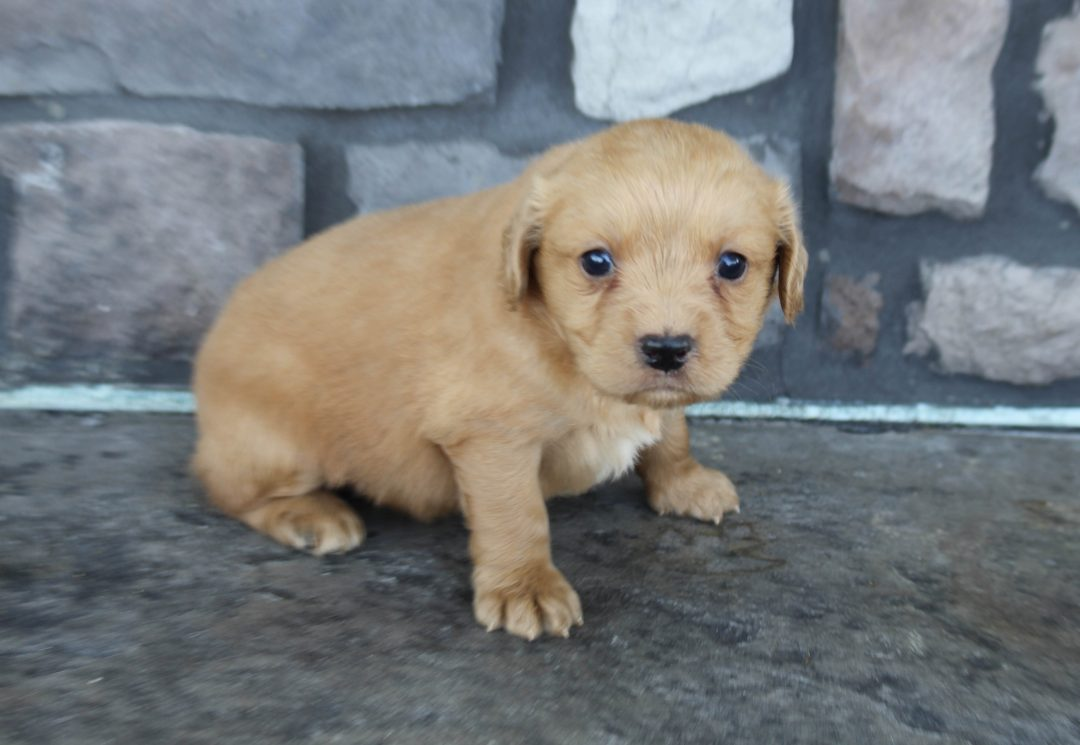 Kylie * mini * - female Goldendoodle puppie for sale in Grabill, Indiana