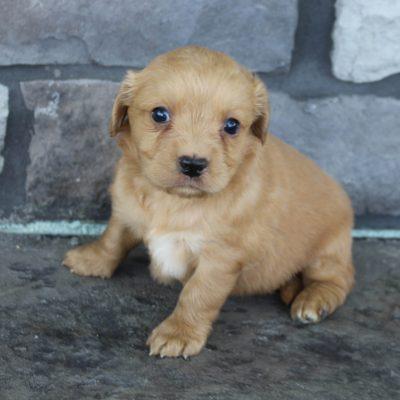 Kylie * mini * - female Golden Retriever puppie for sale in Grabill, Indiana