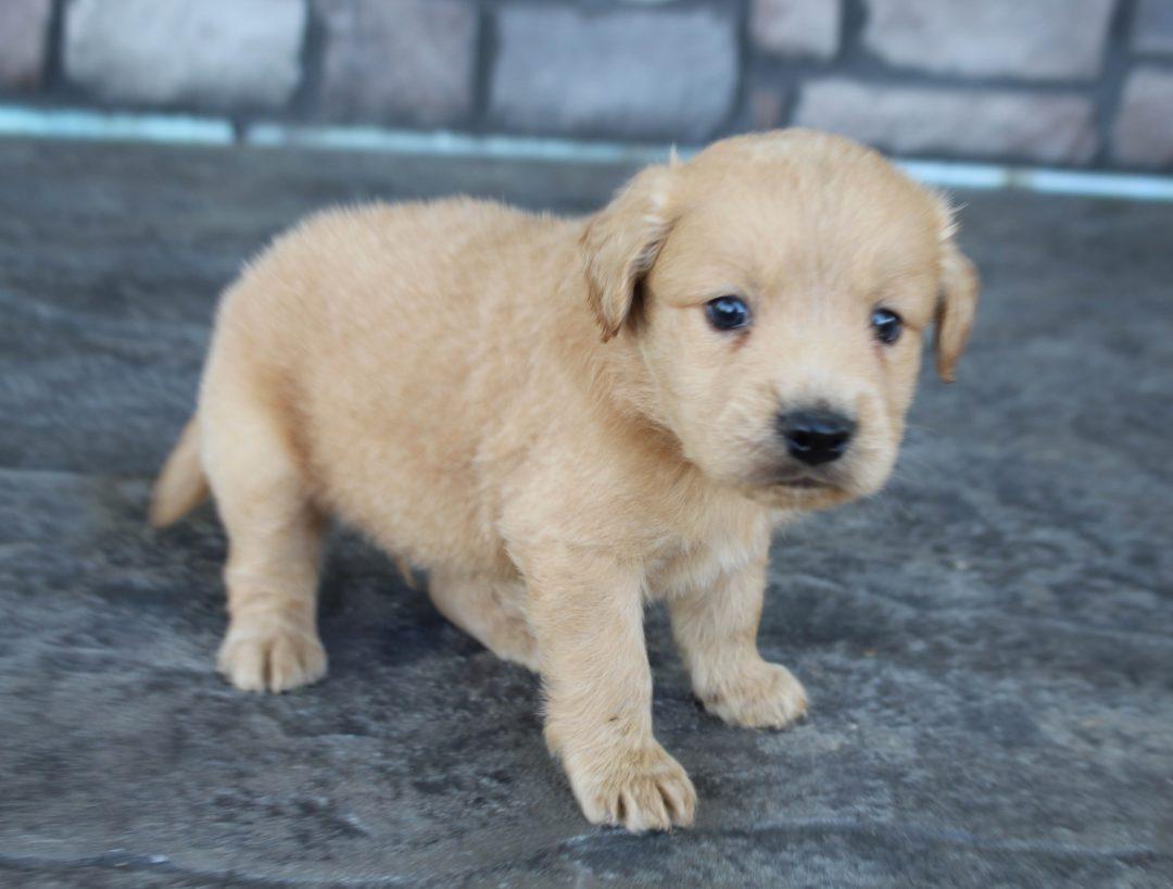 Kobe * mini * - Goldendoodle male doggie for sale at Grabill, Indiana