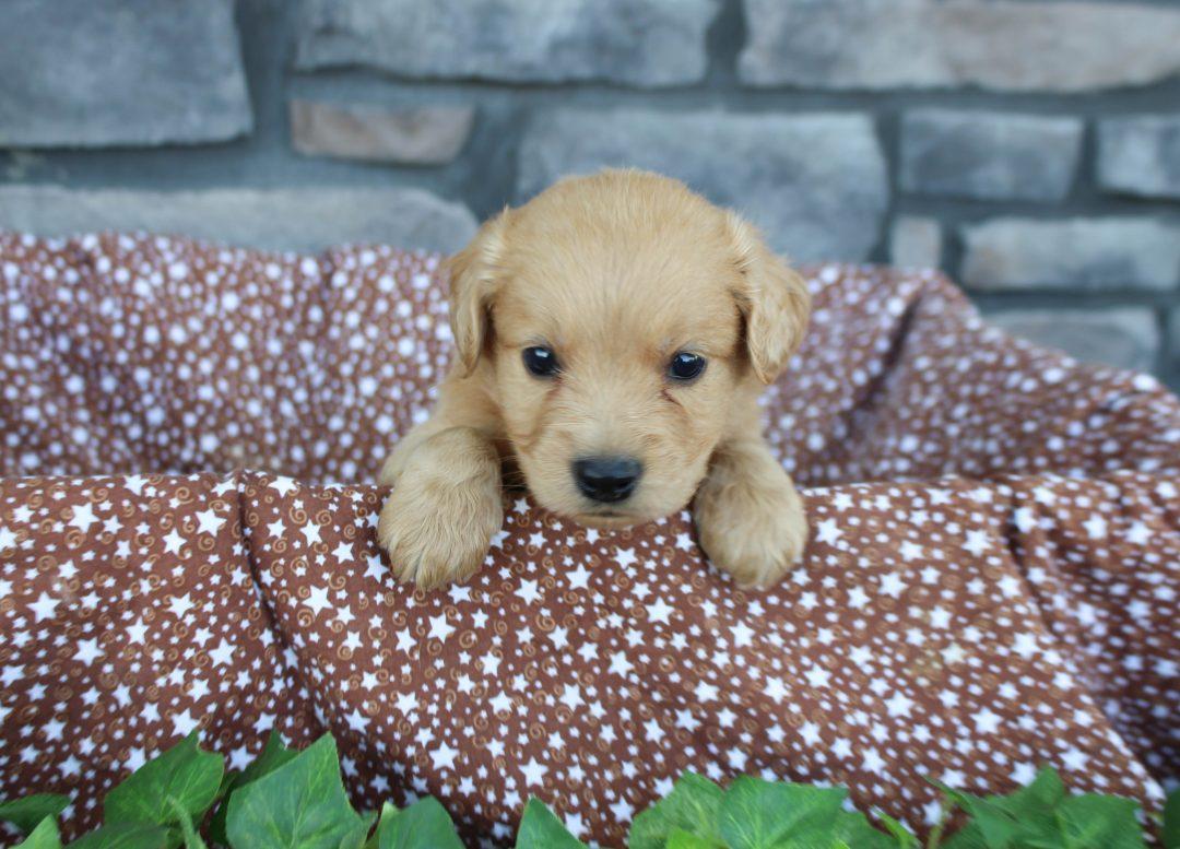 Duke * mini * - Goldendoodle male puppy for sale near Grabill, Indiana