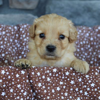 Tippy * mini * - Goldendoodle male pup for sale in Grabill, Indiana