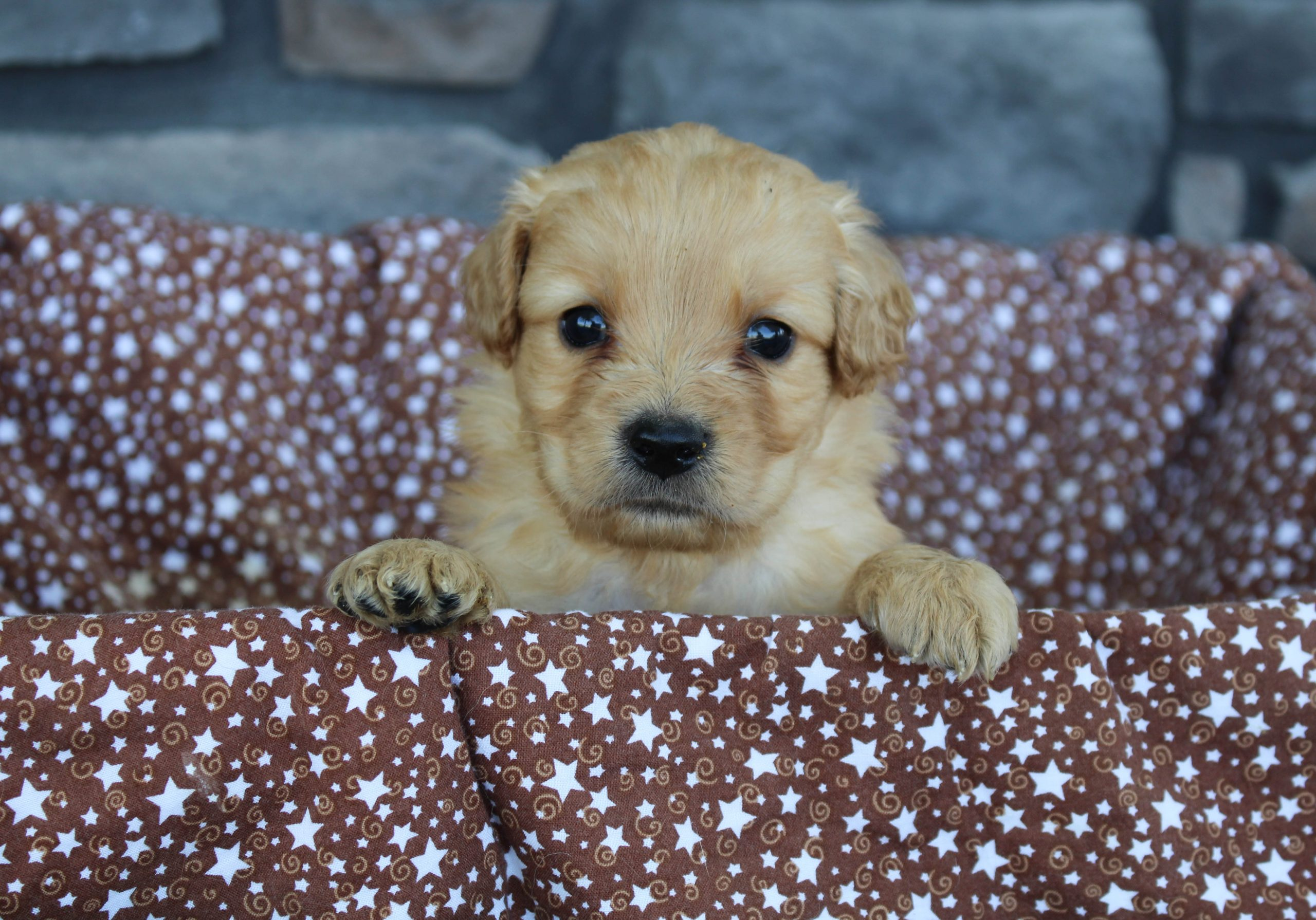 Tippy * mini * - Golden Retriever male pup for sale in Grabill, Indiana
