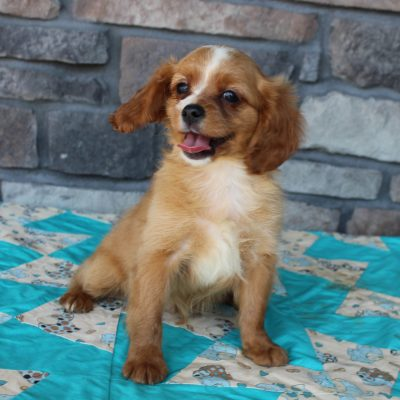Laney - pup Cavapoo male for sale at Grabill, Indiana