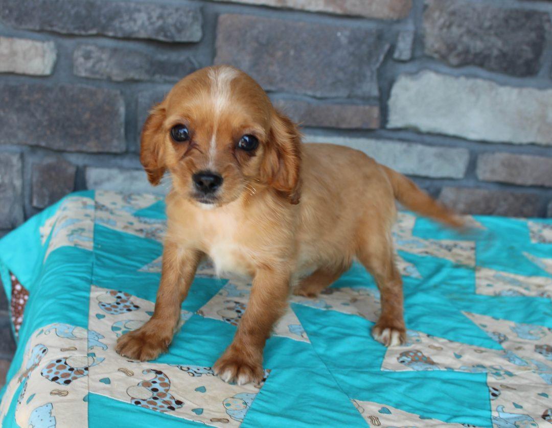 Brittney - Cavapoo female pupper for sale near Grabill, Indiana