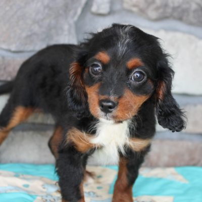 Debbie - Cavapoo female puppie for sale in Grabill, Indiana