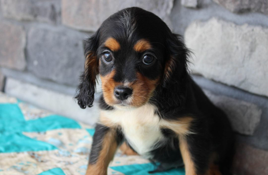 Blake - Cavapoo male doggie for sale at Grabill, Indiana