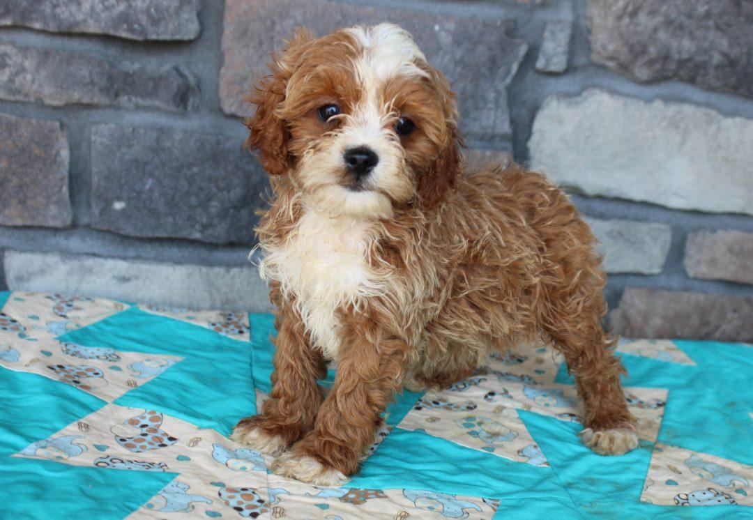 Rocky - Cavapoo male puppy for sale near Grabill, Indiana