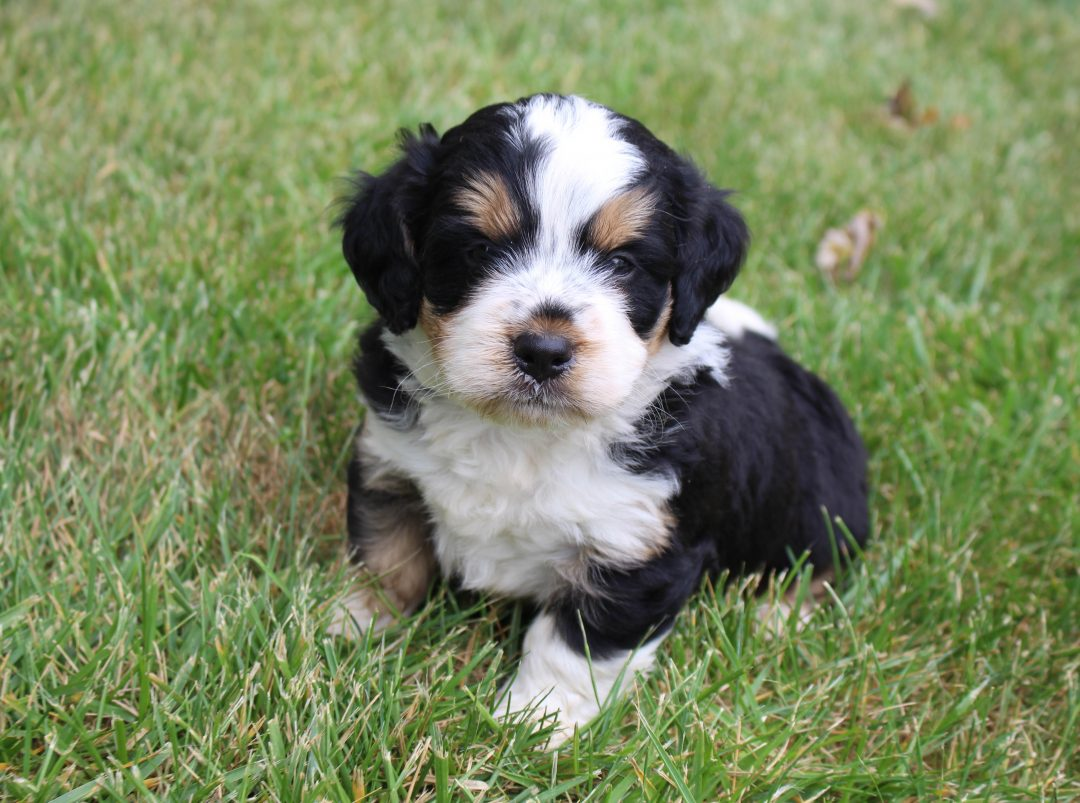 Kenny - Bernedoodle male pup for sale in Grabill, Indiana
