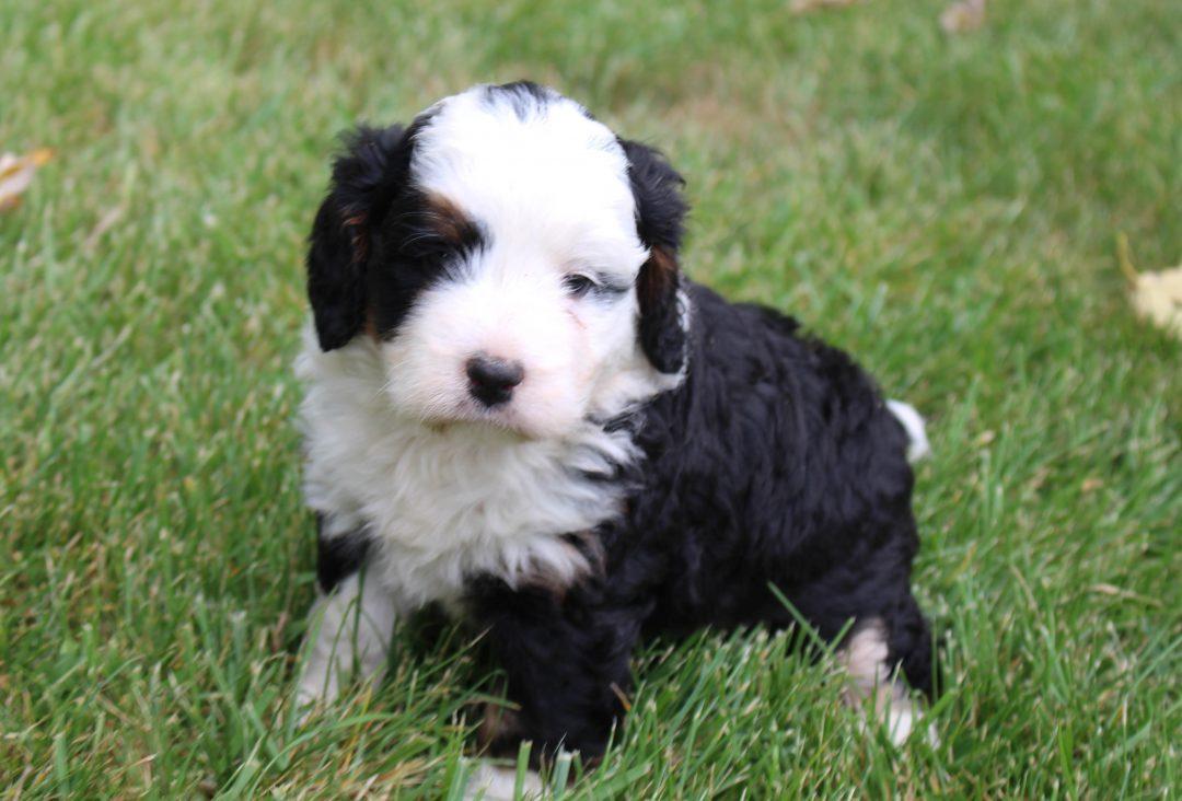 Kendra - Mini Bernedoodle male puppie for sale near Grabill, Indiana