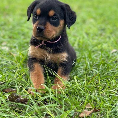 Mina Rottweiler Puppy