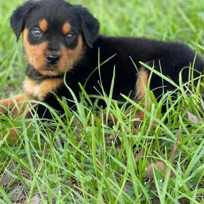 Johnes Rottweiler Puppy