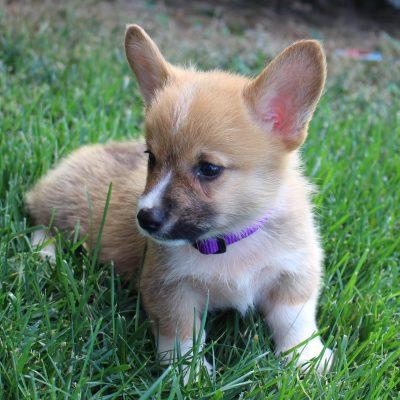 Trent - ACA Pembroke Welsh Corgi male doggie for sale at Topeka, Indiana