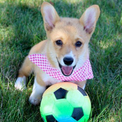 Morgan - AKC Pembroke Welsh Corgi puppy for sale in Woodburn, Indiana