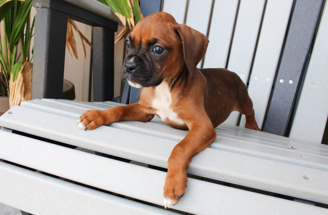 Sophie - AKC Boxer female pupper for sale in Grabill, Indiana