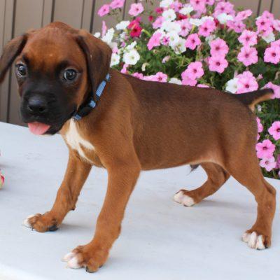 Duke- AKC Boxer male doggie for sale near Grabill, Indiana