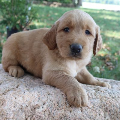 Gus - AKC Golden Retriever male pippie for sale near New Haven, Indiana