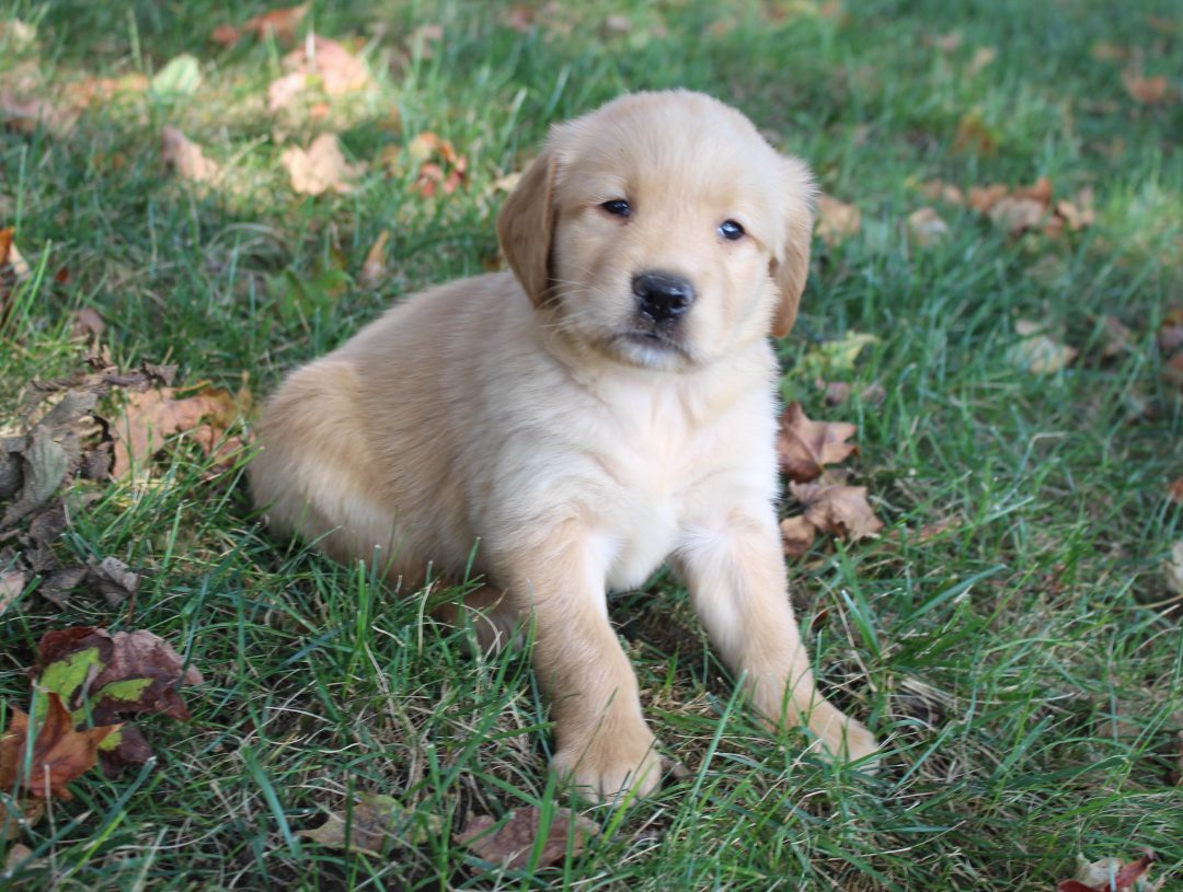 Grover - male AKC Golden Retriever doggie for sale in New Haven, Indiana