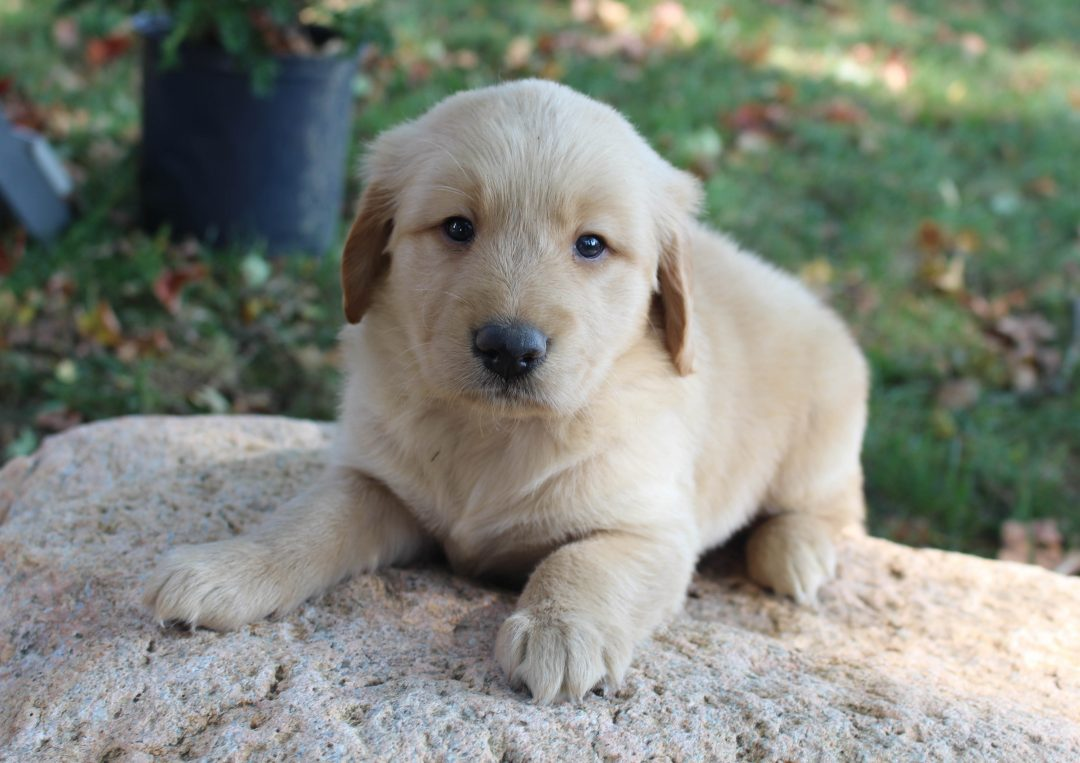 Gallant - AKC Golden Retriever male pup for sale near New Haven, Indiana