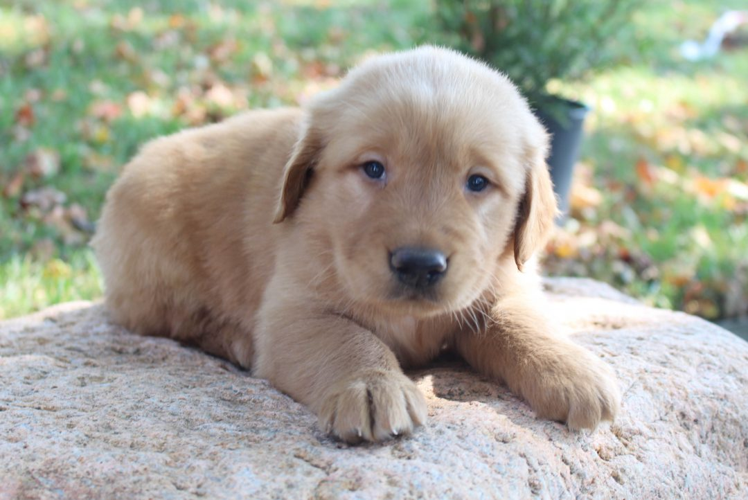 Gerry - AKC Golden Retriever male pupper for sale in New Haven, Indiana