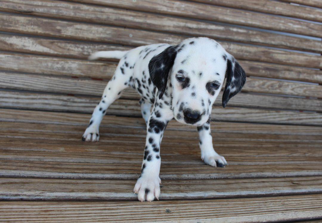 Remi - AKC Dalmatian male pup for sale in Saint Joe, Indiana