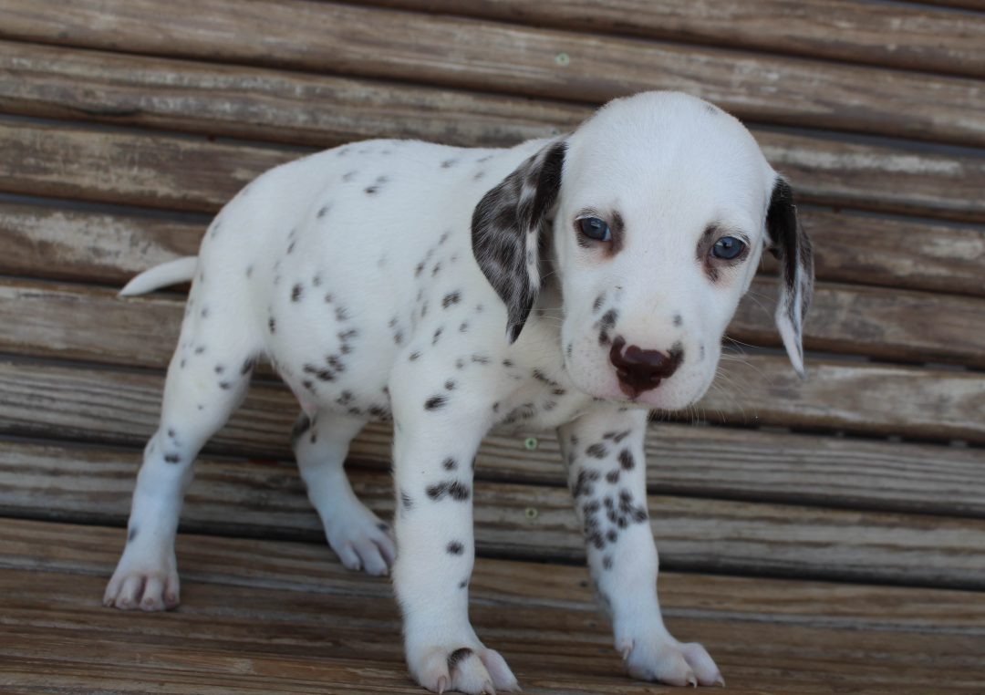 Marley - AKC Dalmatian male pupper for sale at Saint Joe, Indiana