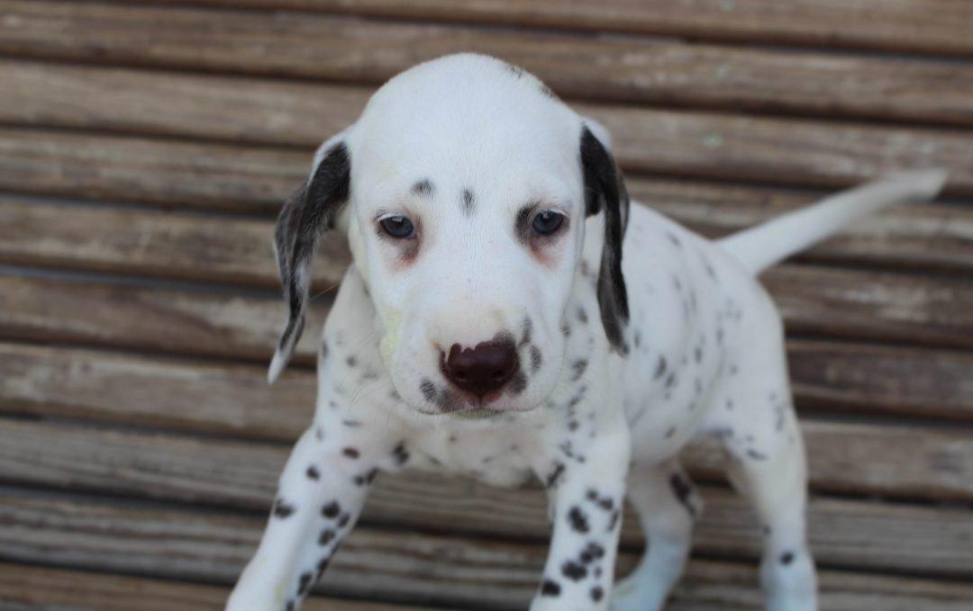 Ryder - AKC Dalmatian male puppie for sale near Saint Joe, Indiana