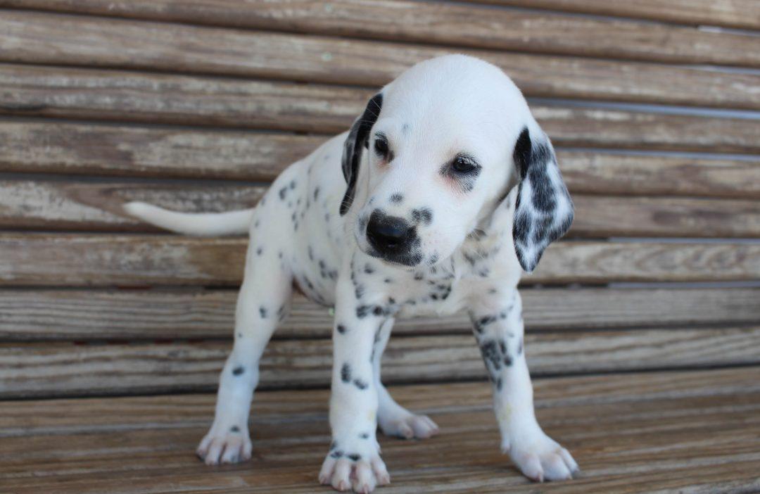 Daisy - AKC Dalmatian female puppy for sale at Saint Joe, Indiana