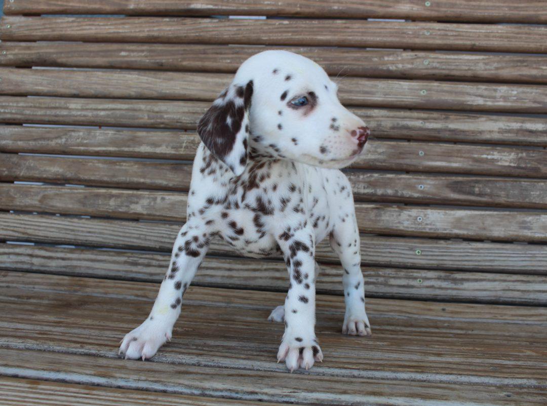 Miles - AKC Dalmatian male pup for sale near Saint Joe, Indiana