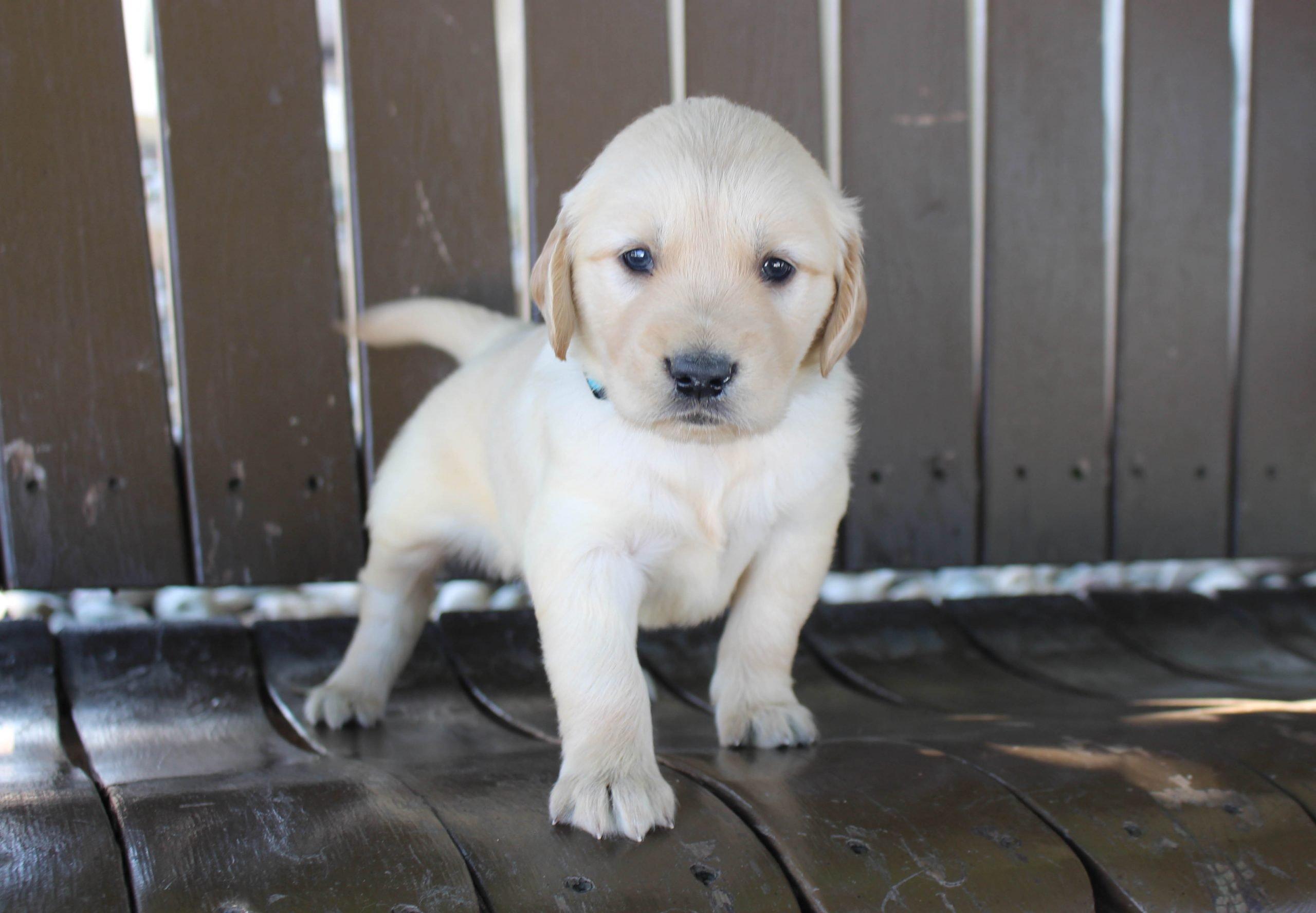 Tyson - AKC Golden Retriever male puppy for sale in Grabill, Indiana