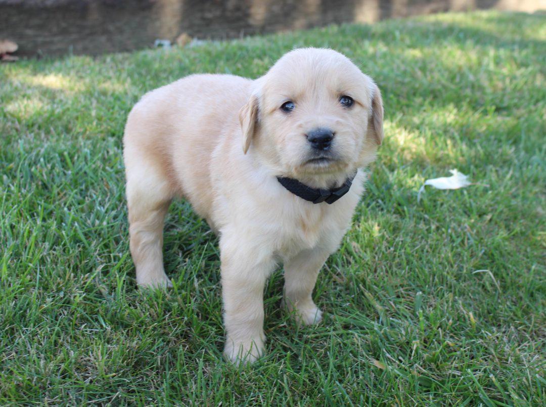 Ashton - AKC Golden Retriever male doggie for sale at Grabill, Indiana
