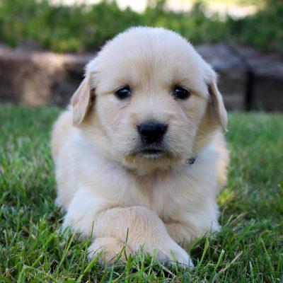 Brenda - AKC Golden Retriever female puppy for sale near Grabill, Indiana