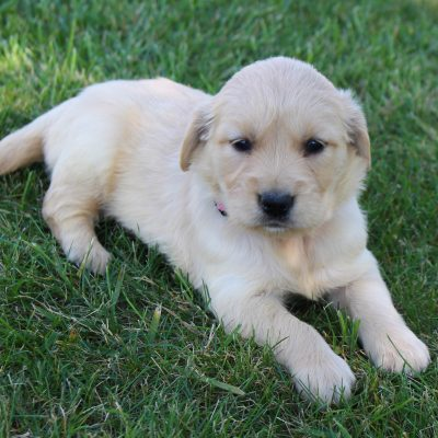 Tina - pup AKC Golden Retriever female for sale in Grabill, Indiana