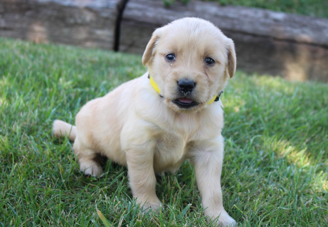 Linda - AKC Golden Retriever female pupper for sale at Grabill, Indiana