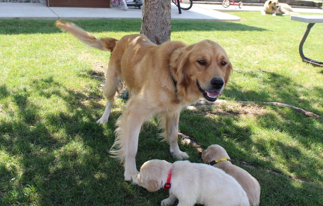 Jayson - AKC Golden Retriever male puppie for sale in Grabill, Indiana