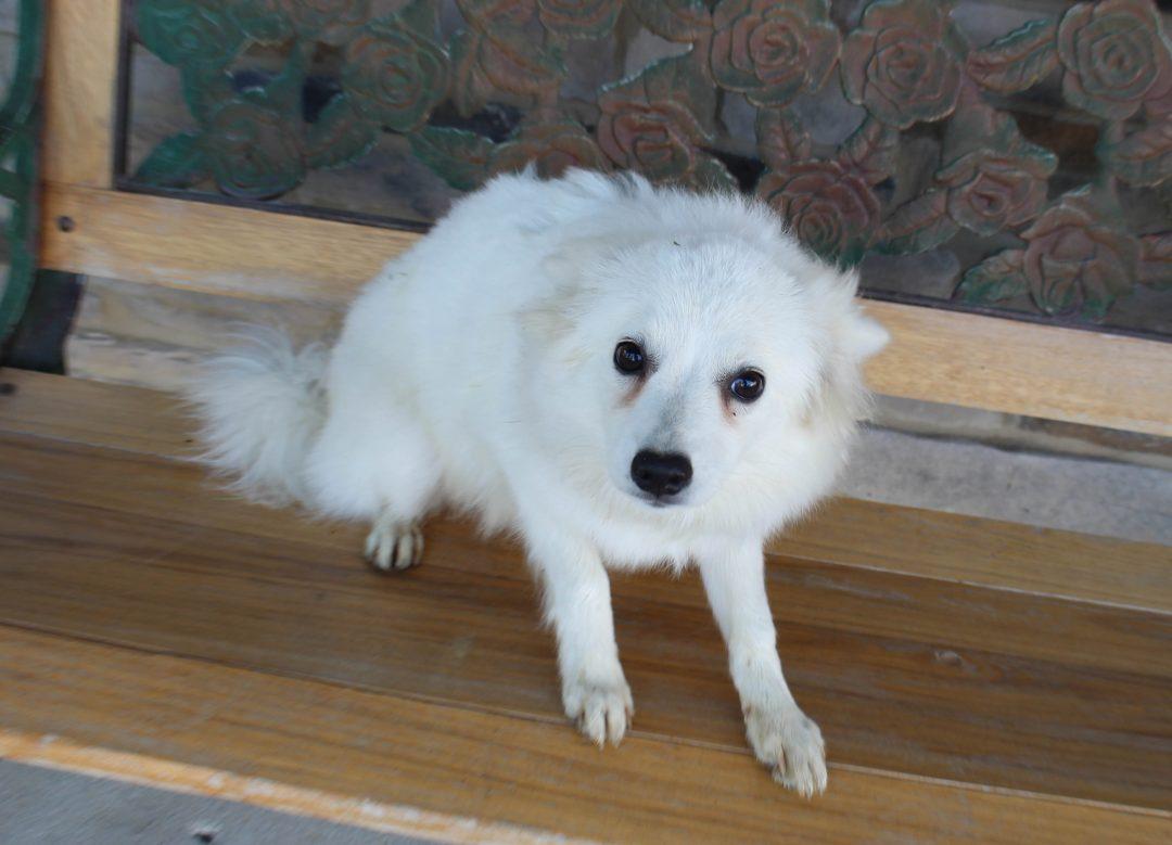 Myra - American Eskimo male pupper for sale near Woodburn, Indiana