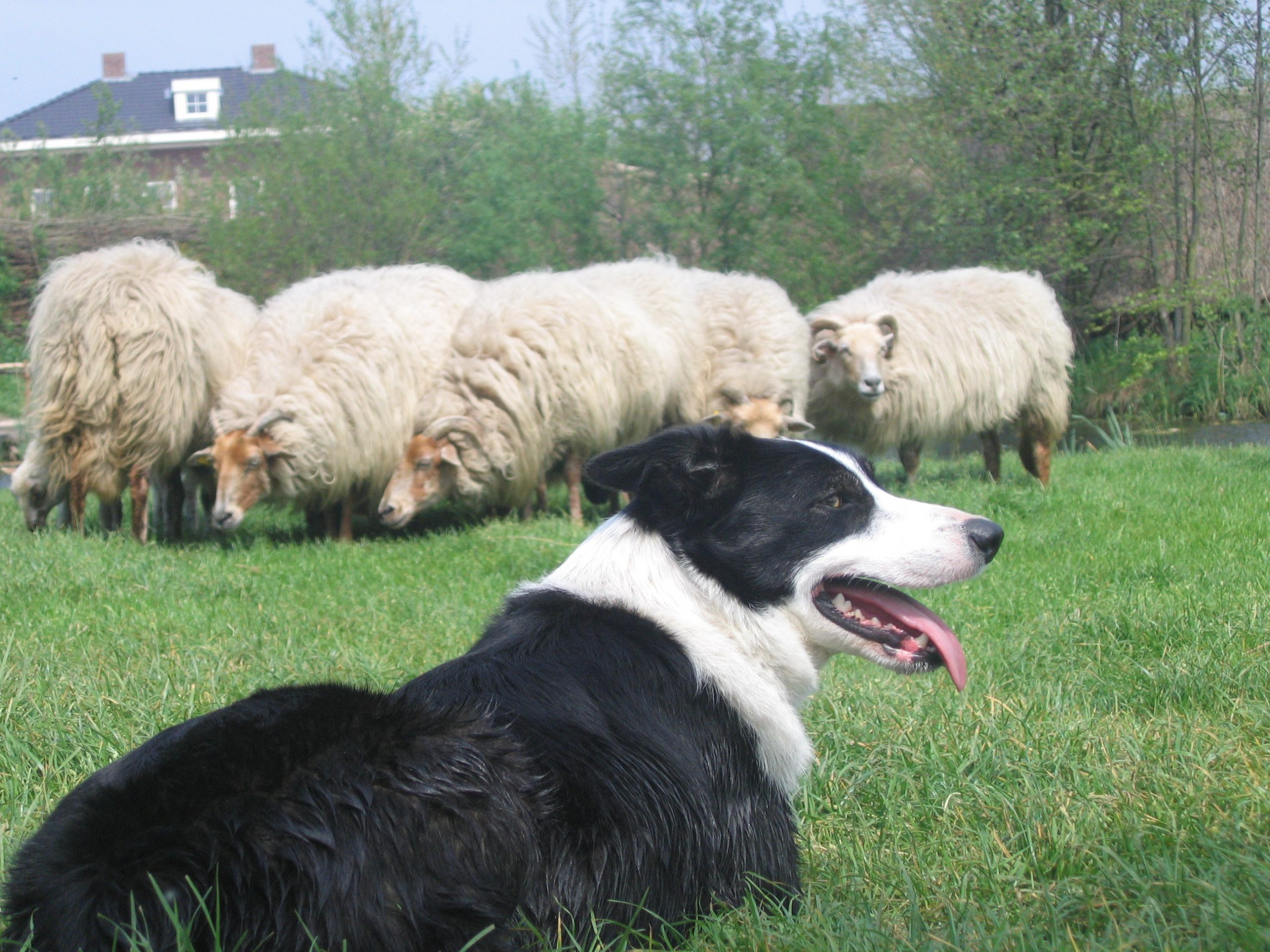 Sheepdog Breeds: 31 Sheepdogs and What You Want to Know About Them