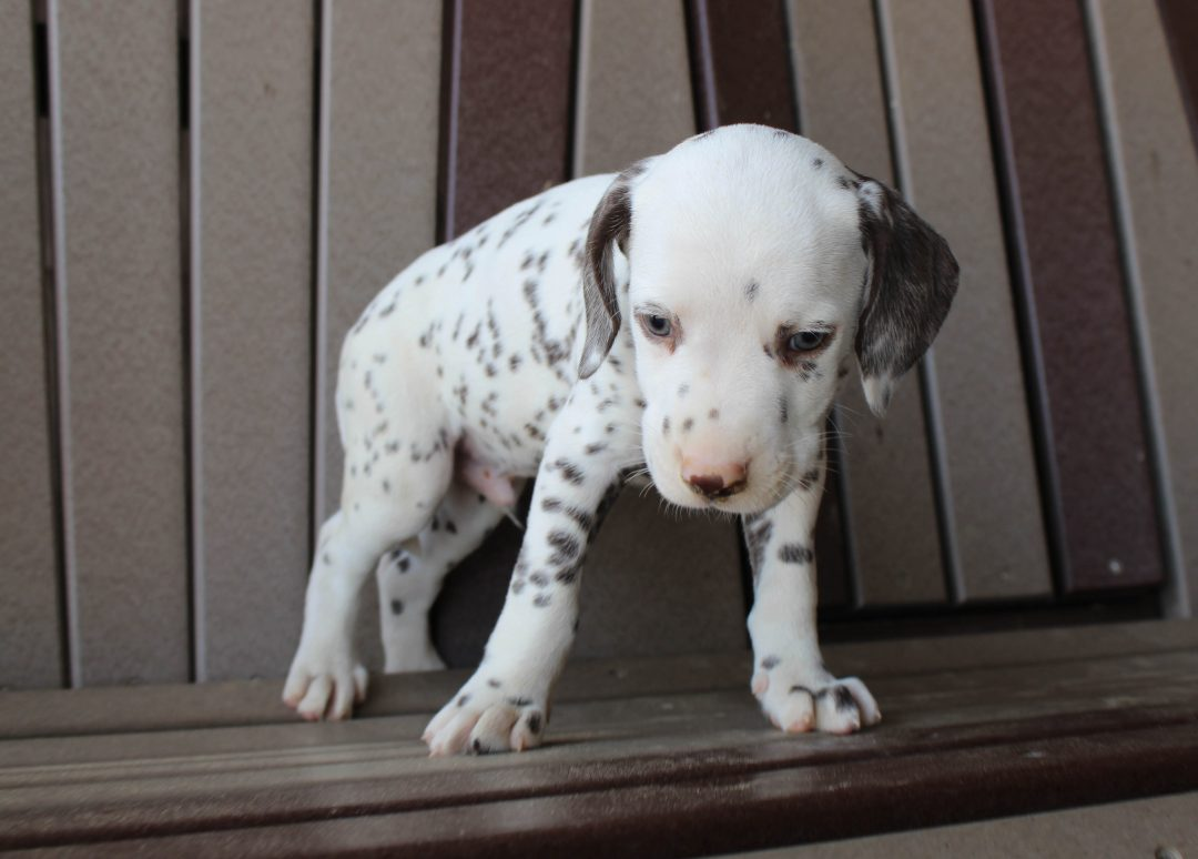 Freckles - AKC female Dalmatian pupper for sale at Spencerville, Indiana
