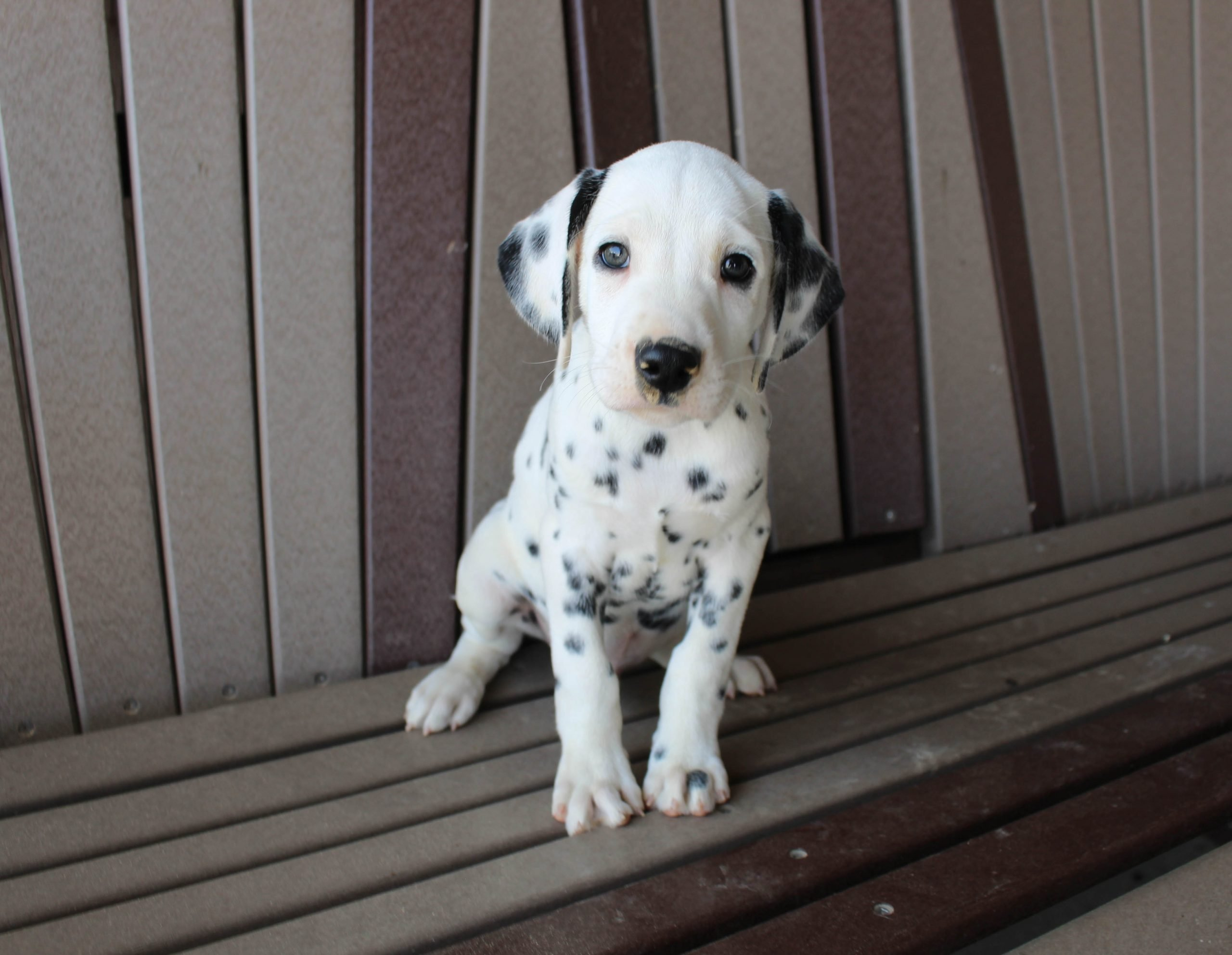 Marshall - AKC Dalmatian male doggie for sale in Spencerville, Indiana