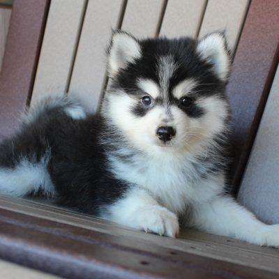 Marley - Eskimo Spitz-Pomsky mix male puppie for sale near Spencerville, Indiana