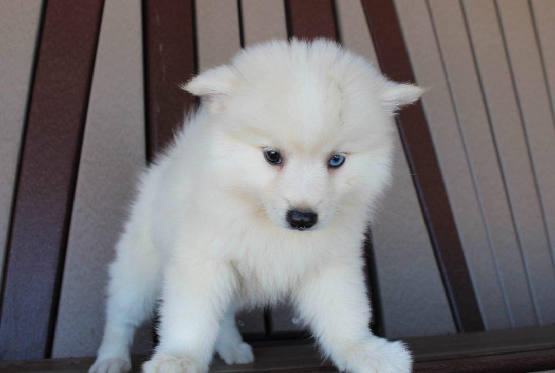 Amber - Eskimo Spitz-Pomsky mix female doggie for sale in Spencerville, Indiana