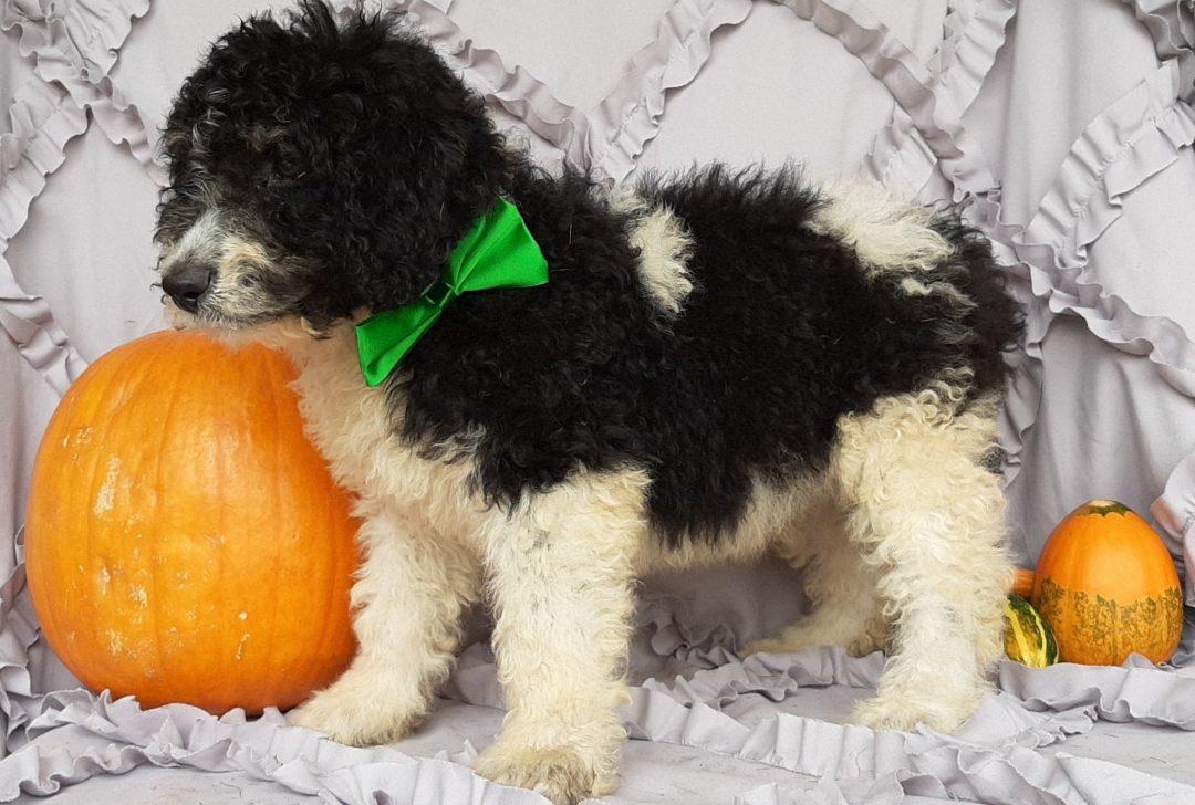 Barney - Bernedoodle doggie for sale near Christiana, Pennsylvania