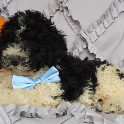 Bernie - Bernedoodle puppie for sale at Christiana, Pennsylvania